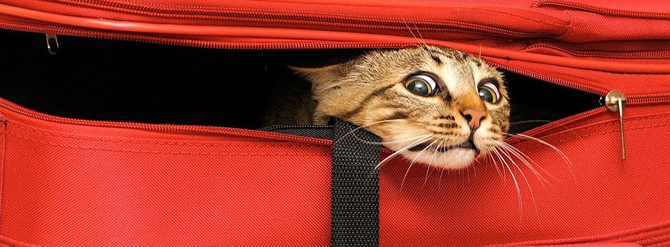 Котка в куфар